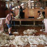 isolation avec la laine de mouton